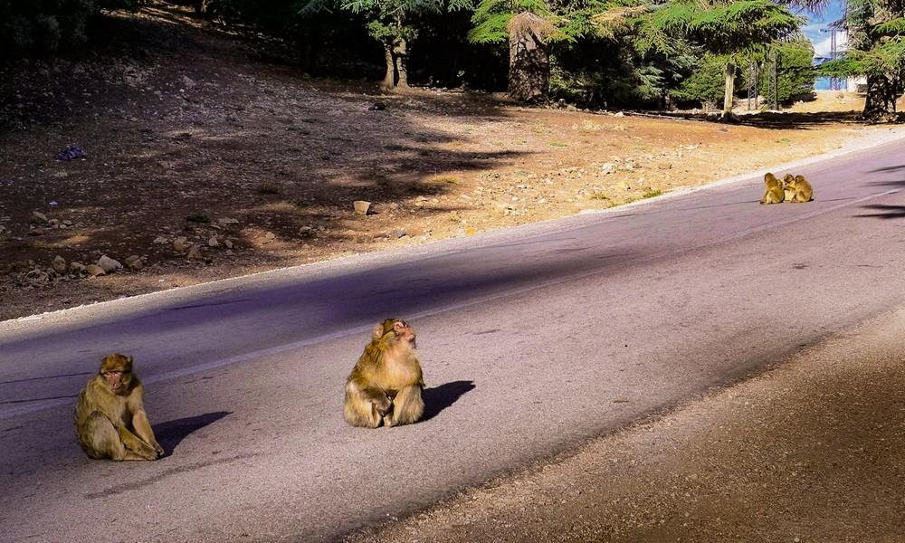 Małpi gaj przy drodze do Fezu Maroko