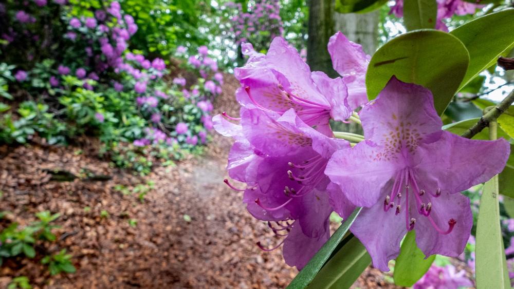 Kwitnące wokół zamku Różaneczniki możemy podziwiać na przełomie maja i czerwca
